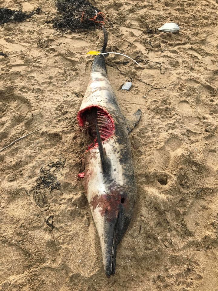 Cá heo bị cá mập cắn gần đứt thân dạt bờ biển Anh - 2