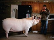 """Phi thường - kỳ quặc - Mua lợn siêu nhỏ về nuôi, không ngờ """"phát phình"""" hơn gấu Bắc Cực"""