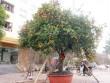 Cây quýt cổ hơn 100 tuổi được rao bán nửa tỷ đồng ở Nghệ An