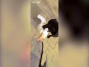 Phi thường - kỳ quặc - Chó giải cứu chủ đang bị ngỗng hung hăng tấn công