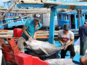 Thị trường - Tiêu dùng - Trúng khẳm cá ngừ đại dương, tàu cá lãi hàng trăm triệu đồng