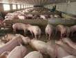 'Khóc ròng' vì 1kg thịt lợn hơi không mua nổi bát phở