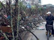 Tin tức trong ngày - Đào rừng cành xù xì, ít hoa, giá tiền triệu tràn ngập Thủ đô