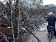 Đào rừng cành xù xì, ít hoa, giá tiền triệu tràn ngập Thủ đô