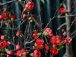 Mai đỏ Trung Quốc: Tiền triệu một cây chơi Tết ở Thủ đô