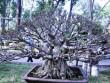 Tận thấy những cây bonsai dáng độc hội tụ ở Sài Gòn
