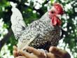 """Năm Đinh Dậu, nhiều loại gà """"siêu độc"""" hút hàng"""