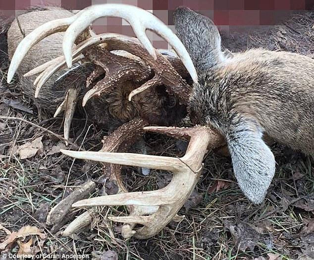 Hai hươu đực kẹt cứng gạc, chết thảm sau trận tử chiến - 4