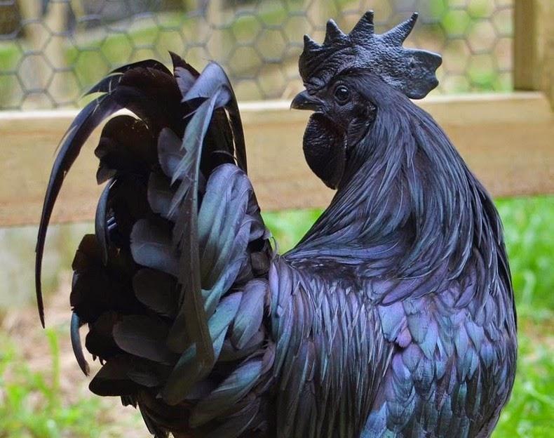 Giống gà đen từ máu đen ra đắt nhất thế giới - 4