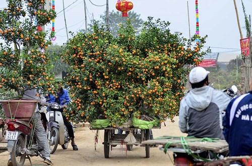 Đào Nhật Tân, quất Tứ Liên tấp nập từ vườn ra chợ - 11