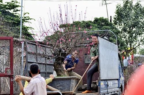 Đào Nhật Tân, quất Tứ Liên tấp nập từ vườn ra chợ - 2