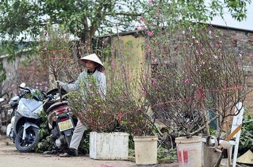 Đào Nhật Tân, quất Tứ Liên tấp nập từ vườn ra chợ - 4