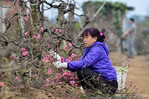 Đào Nhật Tân, quất Tứ Liên tấp nập từ vườn ra chợ - 6