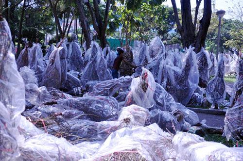 Hàng trăm gốc đào ở SG bị vứt vào xe rác trưa 30 Tết - 7