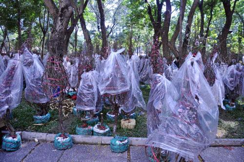 Hàng trăm gốc đào ở SG bị vứt vào xe rác trưa 30 Tết - 12
