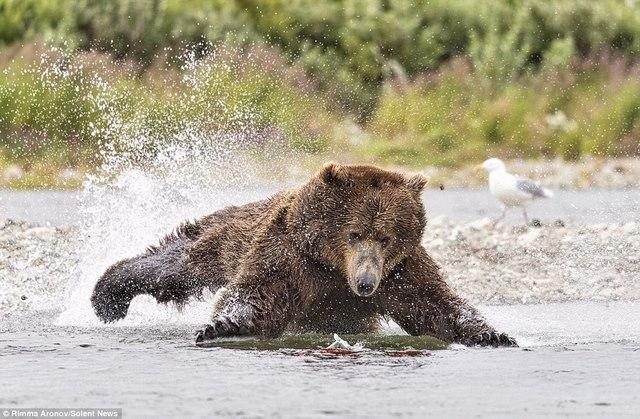 """Gấu nâu 180kg """"bay"""" trên không bắt cá hồi - 3"""