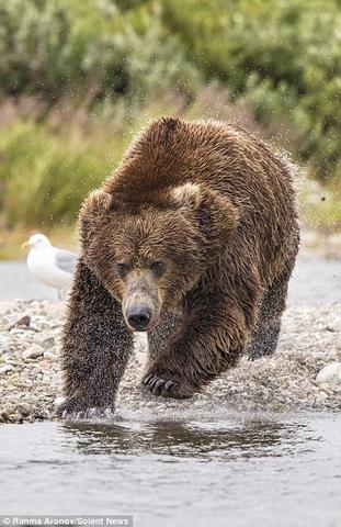 """Gấu nâu 180kg """"bay"""" trên không bắt cá hồi - 1"""
