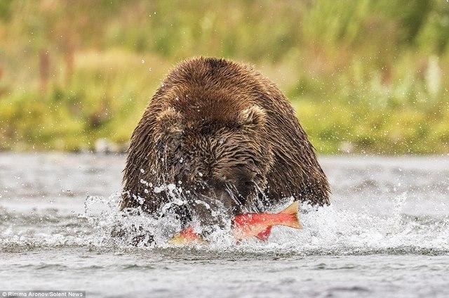 """Gấu nâu 180kg """"bay"""" trên không bắt cá hồi - 4"""