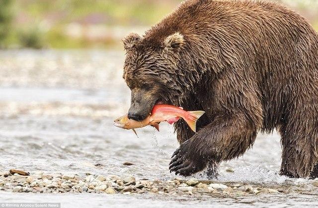 """Gấu nâu 180kg """"bay"""" trên không bắt cá hồi - 5"""