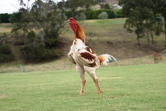 Những giống gà sắp tuyệt chủng vì… không ai ăn - 4
