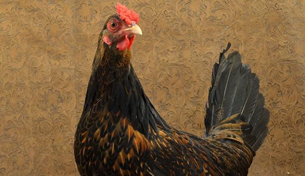 Những giống gà sắp tuyệt chủng vì… không ai ăn - 5