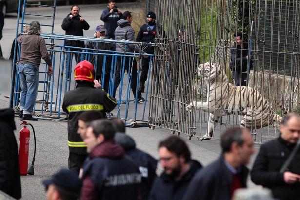 Cả thành phố Ý hỗn loạn khi hổ Siberia sổng chuồng ra phố - 4
