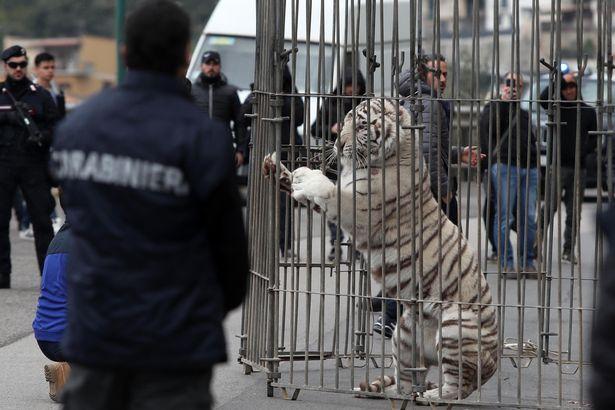Cả thành phố Ý hỗn loạn khi hổ Siberia sổng chuồng ra phố - 1