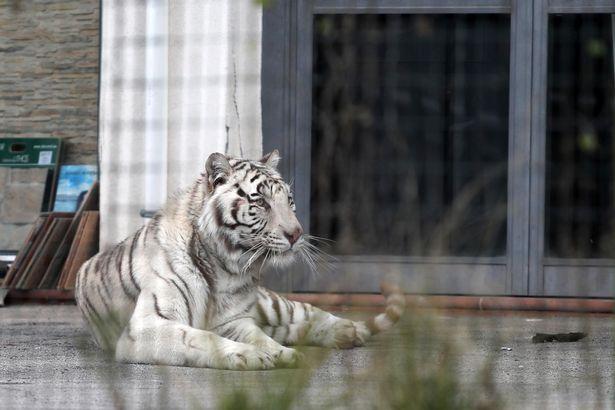 Cả thành phố Ý hỗn loạn khi hổ Siberia sổng chuồng ra phố - 5