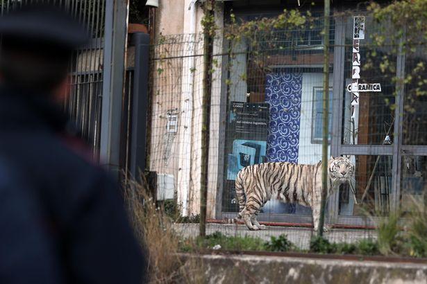 Cả thành phố Ý hỗn loạn khi hổ Siberia sổng chuồng ra phố - 2
