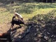 Thế giới - Thái Lan: 4 chú chó đại chiến rắn hổ mang chúa dài 2,5m
