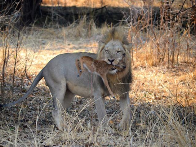 Sư tử ngoạm cổ nai con sau 30 phút làm bạn