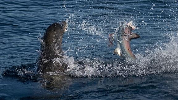 Sư tử biển 3 tạ cắn đứt đầu cá mập, ăn tươi nuốt sống - 3