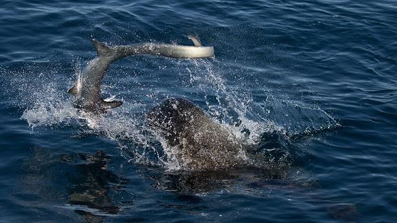 Sư tử biển 3 tạ cắn đứt đầu cá mập, ăn tươi nuốt sống - 2