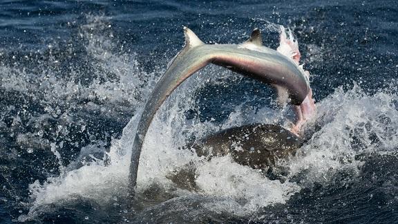 Sư tử biển 3 tạ cắn đứt đầu cá mập, ăn tươi nuốt sống - 5