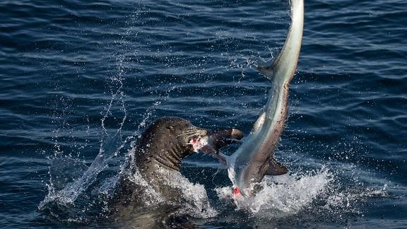 Sư tử biển 3 tạ cắn đứt đầu cá mập, ăn tươi nuốt sống - 6