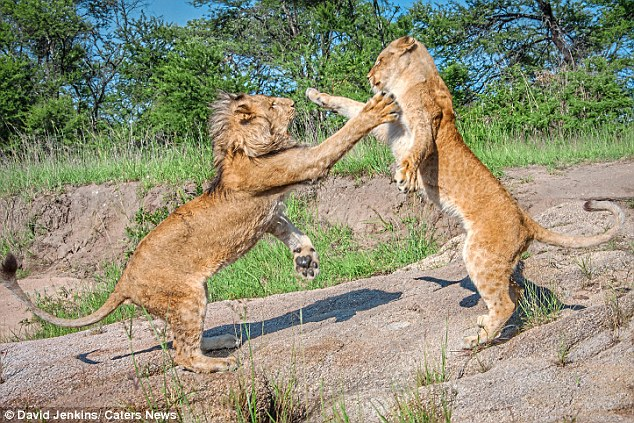 Sư tử cái cùng anh trai quyết chiến tới kiệt sức - 1