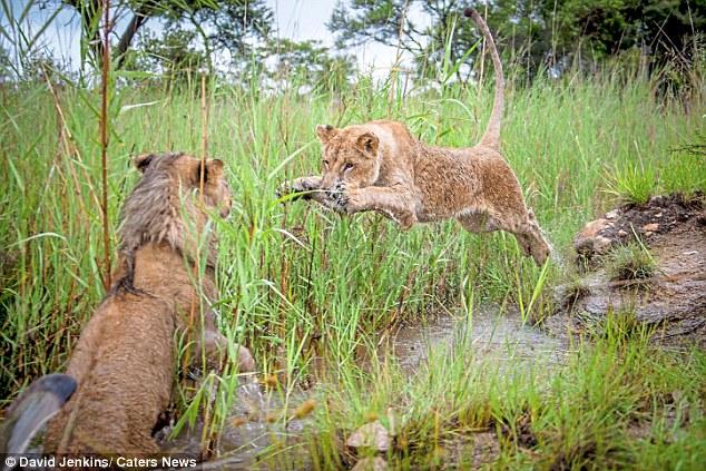 Sư tử cái cùng anh trai quyết chiến tới kiệt sức - 2