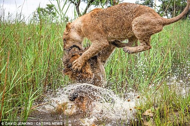 Sư tử cái cùng anh trai quyết chiến tới kiệt sức - 3