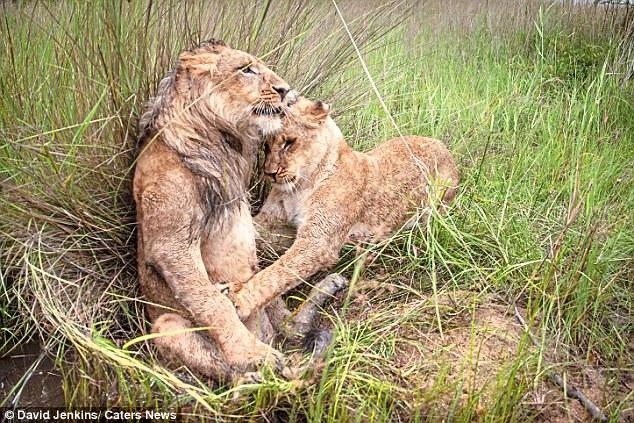 Sư tử cái cùng anh trai quyết chiến tới kiệt sức - 4