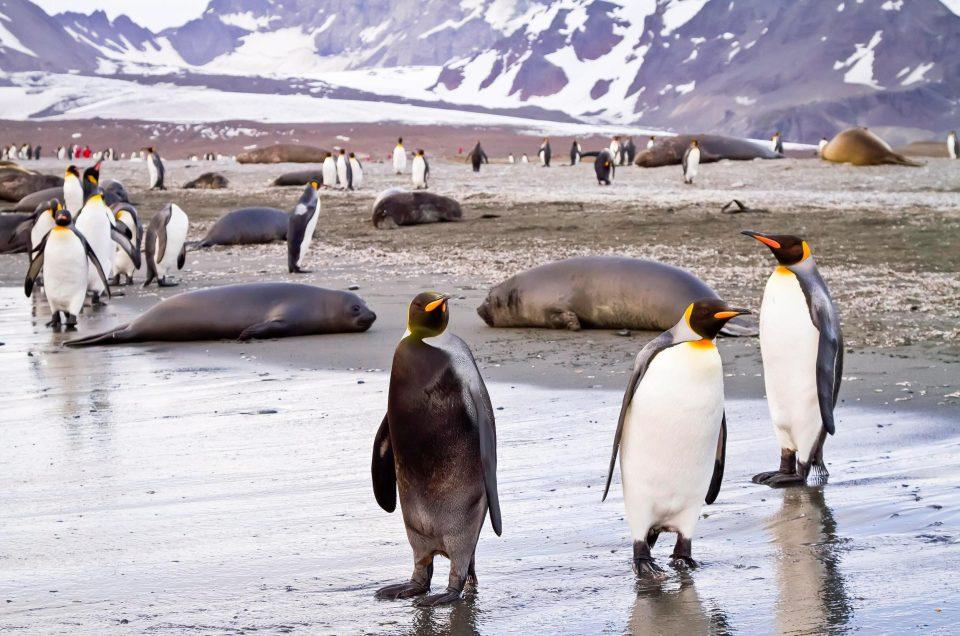 """Chim cánh cụt mắc bệnh lạ khiến da """"đổi trắng thay đen"""" - 1"""