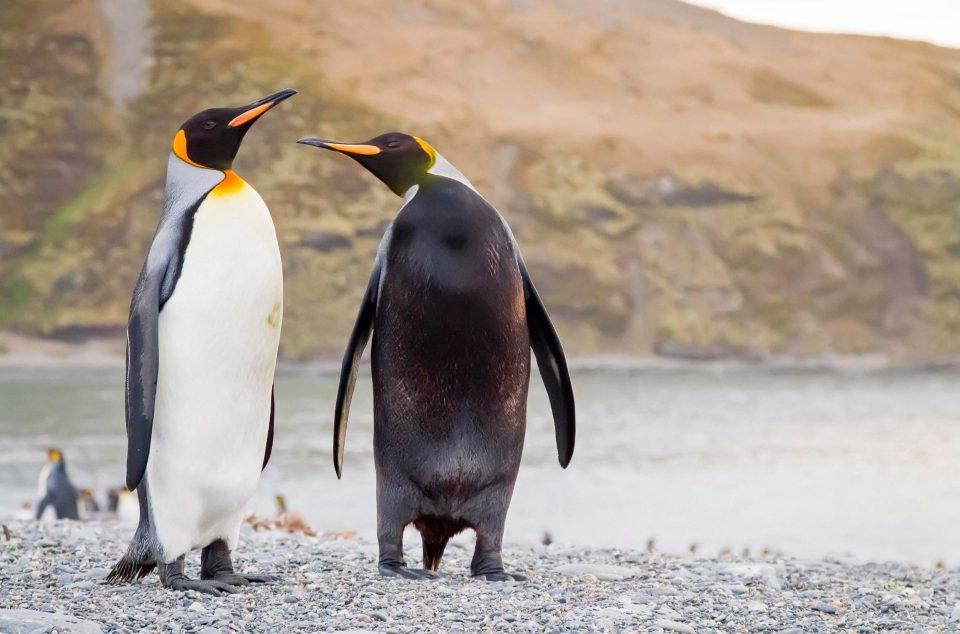 """Chim cánh cụt mắc bệnh lạ khiến da """"đổi trắng thay đen"""" - 2"""