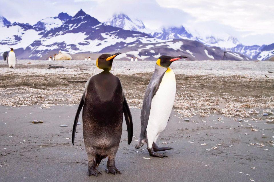 """Chim cánh cụt mắc bệnh lạ khiến da """"đổi trắng thay đen"""" - 3"""