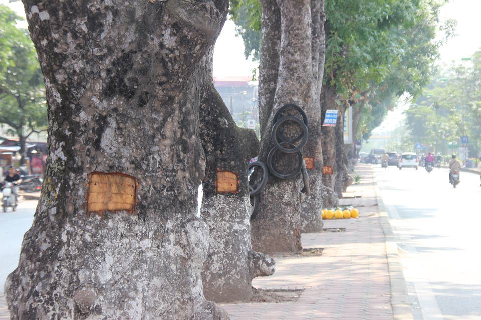 HN: Hàng loạt cây xà cừ cổ thụ bị đẽo vỏ nham nhở - 1