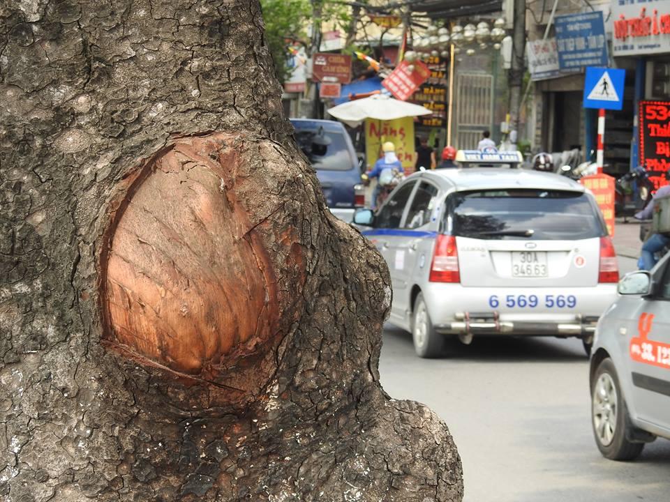 HN: Hàng loạt cây xà cừ cổ thụ bị đẽo vỏ nham nhở - 6