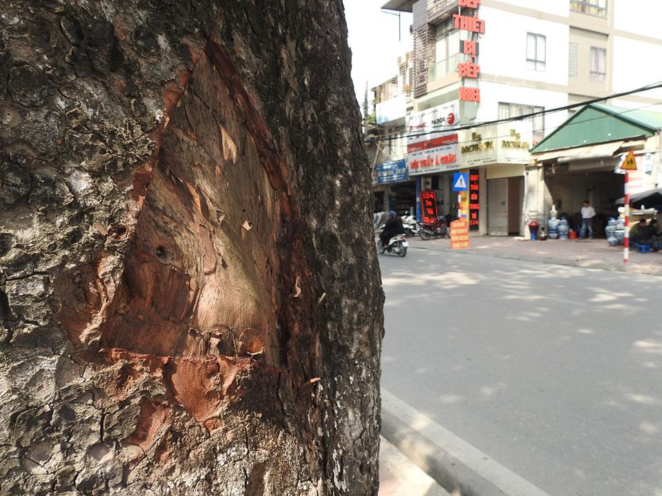 HN: Hàng loạt cây xà cừ cổ thụ bị đẽo vỏ nham nhở - 3