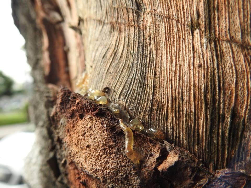 HN: Hàng loạt cây xà cừ cổ thụ bị đẽo vỏ nham nhở - 5