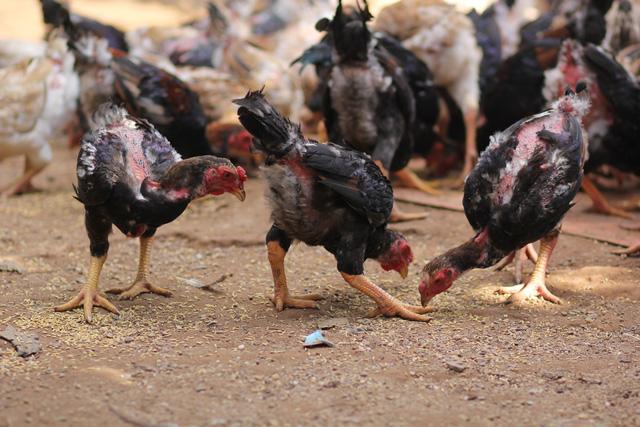 Bí ẩn giống gà miễn nhiễm với nhiều loại dịch - 1