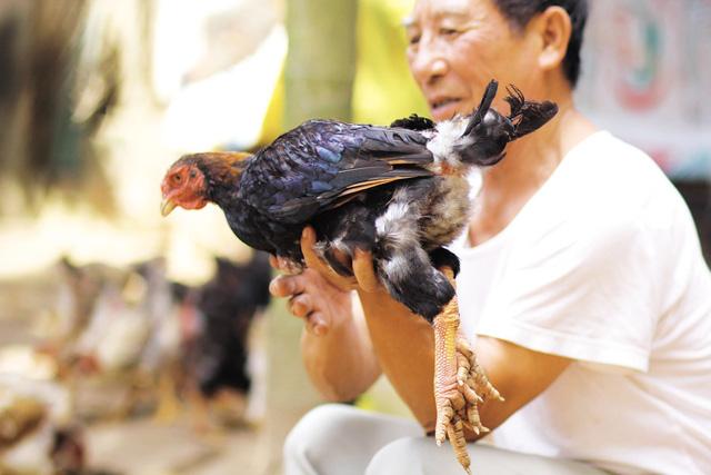 Bí ẩn giống gà miễn nhiễm với nhiều loại dịch - 3