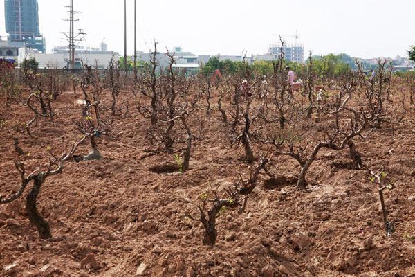 Chưa đến Rằm, nông dân đã tất bật trồng lại đào - 2