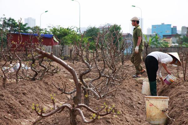 Chưa đến Rằm, nông dân đã tất bật trồng lại đào - 5